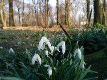 Cluster of Snowdrops Royalty Free Stock Image
