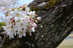 Cluster of spring sakura flower blossoms on a Japanese Yoshino cherry tree Stock Images