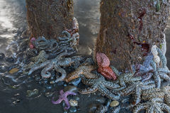 Cluster of Starfish around pilings royalty free stock photo