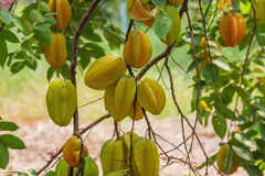 Cluster of starfruit hanging on a tree