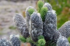 A cluster of sticky pinecones Stock Images