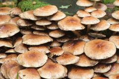 Cluster of sulphur tuft Hypholoma fasciculare. On tree stump Royalty Free Stock Images
