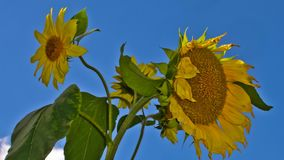 Cluster of sunflowers against a blue sky. Cluster of colorful yellow sunflowers, or Helianthus, against a blue sky growing outdoors in an agricultural field stock footage
