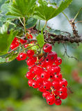The cluster of svely juicy red currant Stock Image