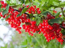 The cluster of svely juicy red currant hangs on a branch Stock Photos