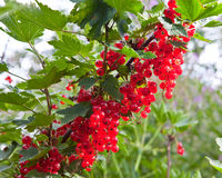 The cluster of svely juicy red currant hangs on a branch in a garden Royalty Free Stock Images