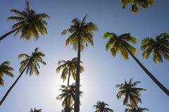 Cluster of tall coconut trees with blue background Stock Photo