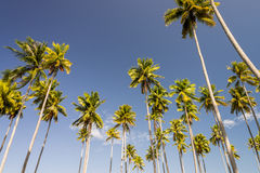 Cluster of tall coconut trees with blue background Royalty Free Stock Photography