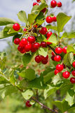 Cluster of Tart Cherries Stock Images