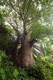 Baobab trees near entrance to Vasai fort. stock photos