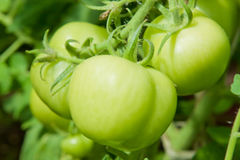 Cluster of three large green tomatoes. Hanging on a branch in greenhouse. It is cultivated in the garden Royalty Free Stock Image