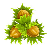 Cluster of three ripe hazelnuts Stock Images