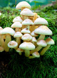 Cluster of Toadstools Stock Image