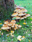 A Cluster of Toadstools Round a Tree Trunk Royalty Free Stock Photo