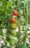 A cluster of tomatoes Stock Photos