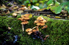 A cluster of tree fungi Stock Photos
