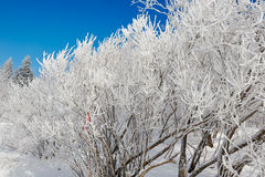 A cluster trees with hard rime Royalty Free Stock Photos