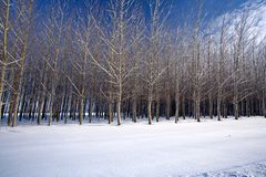 Cluster of trees in a snow covered field in this w Stock Photo