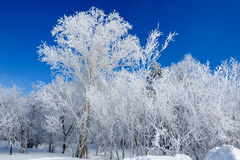 The cluster trees with soth rime and blue sky Stock Photos