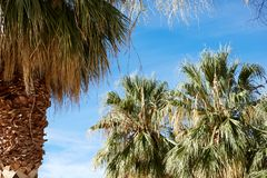 Cluster of tropical palm trees in Death Valley royalty free stock images