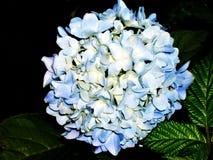 Cluster van Blauwe Hydrangea hortensia Flowes Stock Afbeeldingen