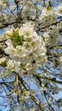 Cluster van Cherry Blossom Stock Foto