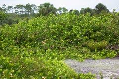 Cluster van Cocoplum in Florida royalty-vrije stock afbeeldingen