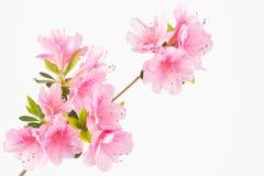 Cluster van de pastelkleur de roze bloem Stock Fotografie