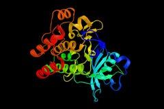 Cluster van differentiatieantigeen 135, een uitgedrukte proteïne Stock Foto