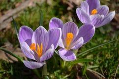 Cluster van drie purpere krokusbloemen stock afbeelding