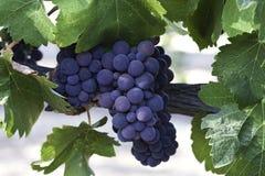 cluster van druiven Royalty-vrije Stock Foto's