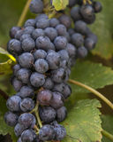 Cluster van druiven Stock Foto's