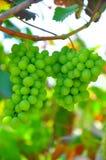Cluster van druiven in de wijngaard die van Virginia als oogstbenaderingen rijpen Stock Fotografie