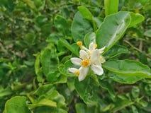 Cluster van kalk` s bloem in de groene tuin stock fotografie