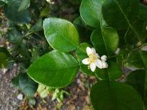 Cluster van kalk` s bloem in de groene tuin stock afbeeldingen