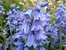 Cluster van klokjes in de tuin royalty-vrije stock fotografie