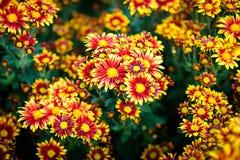 Cluster van oranje chrysantenbloemen Royalty-vrije Stock Fotografie