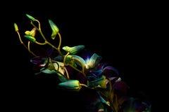 Cluster van Orchideeknoppen Stock Foto