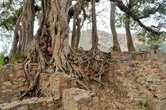 Cluster van oude griezelige bomen Royalty-vrije Stock Afbeelding
