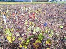 Cluster van Pinot Noir-druiven in Bourgondië Frankrijk stock afbeeldingen