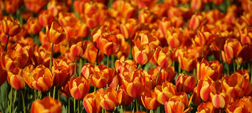 Cluster van rode en gele tulpen Royalty-vrije Stock Afbeelding