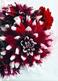 Cluster van rode en witte Dahlia's Stock Afbeeldingen