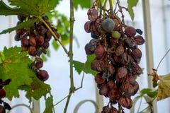 Cluster van vernietigde druiven royalty-vrije stock afbeelding