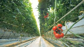Cluster van zachte tomaten die van de tak in een serre hangen stock footage