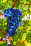 Cluster of very blue grapes Stock Photos