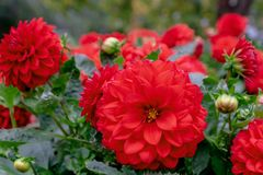 Cluster of vibrant red Dahlia flowers surrounded by green leaves royalty free stock images