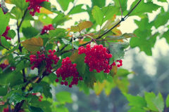 Cluster of Viburnum Royalty Free Stock Photo