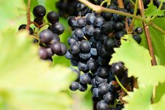 Cluster of vineyard purple grapes on vine Stock Image