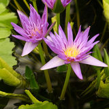 Cluster of violet water lilies Royalty Free Stock Photos