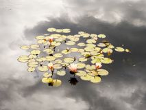 Cluster of Waterlily Blooms in Pond and Reflection of the Sky royalty free stock photography